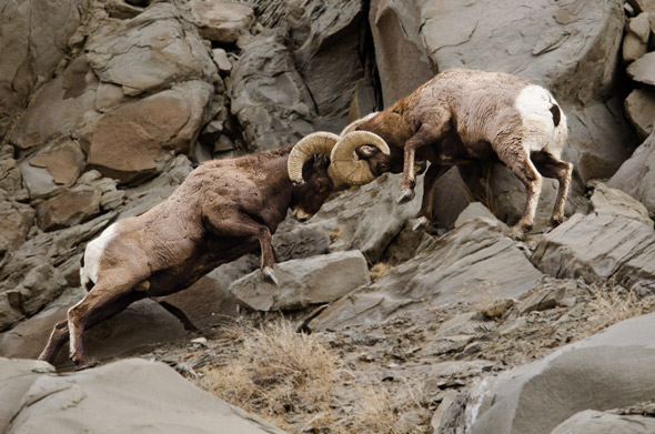 Rams-Headbutting