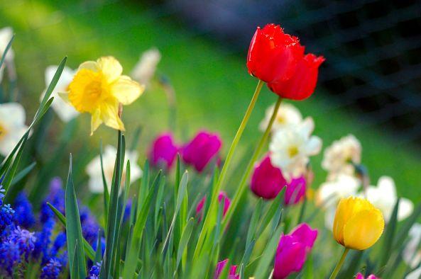 spring_garden-tulips-daffodils